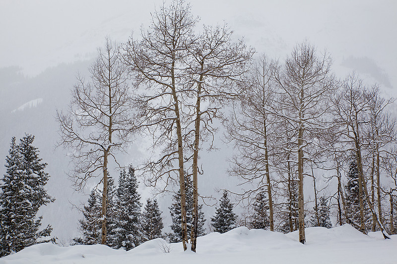 (SJ-11035) Aspens in a snowstorm - Red Mountain Pass, Colorado.