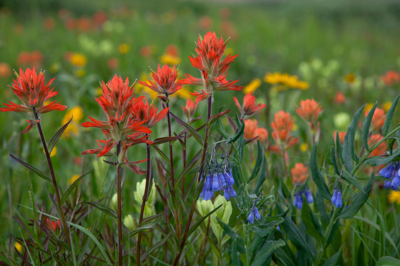 (IMG-9007)  Indian Paintbrush and Mountain Bluebells in the San Juan Mountains, Colorado.