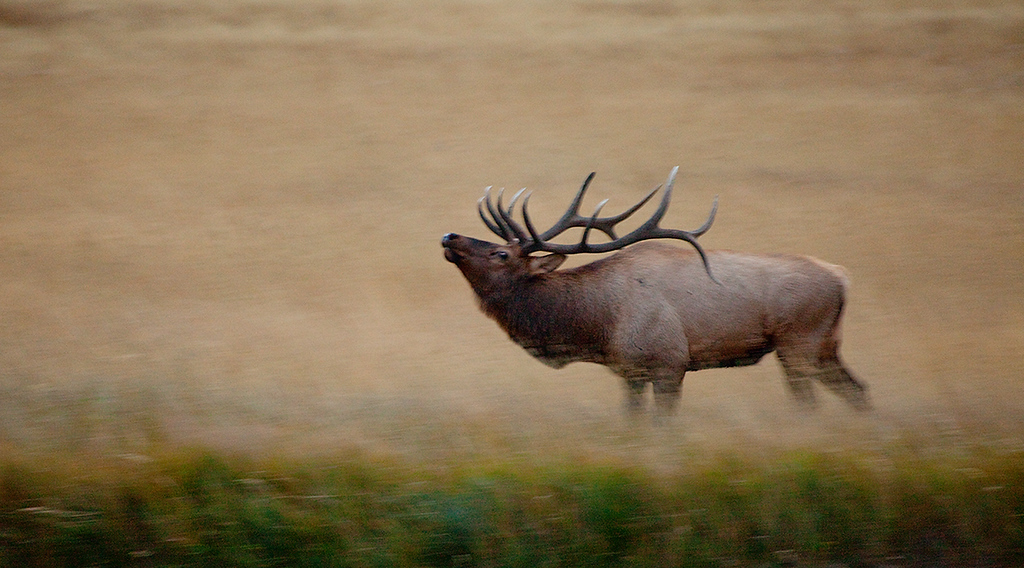(EM-10034)  Bull elk during the rut - Colorado.