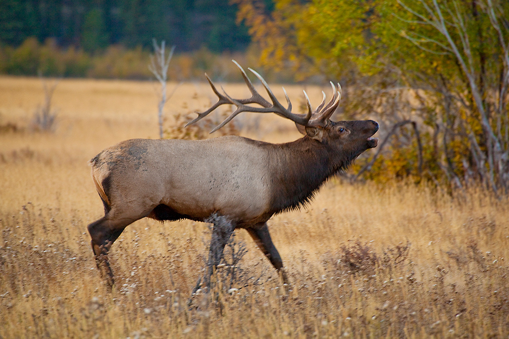 (EM-10042)  Bull elk during the autumn rut - Rocky Mtn. Nat'l Park, Colorado.