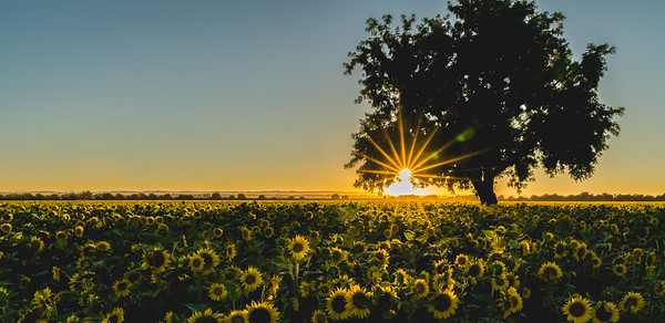 Sunflowers near Woodland CA