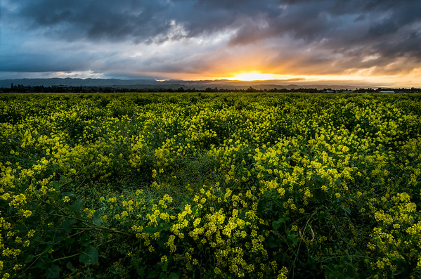 San Jose, CA.   Mustard Field Sunrise