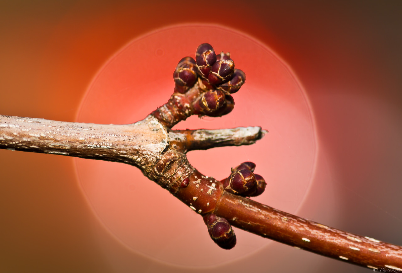 Early tree bud in January