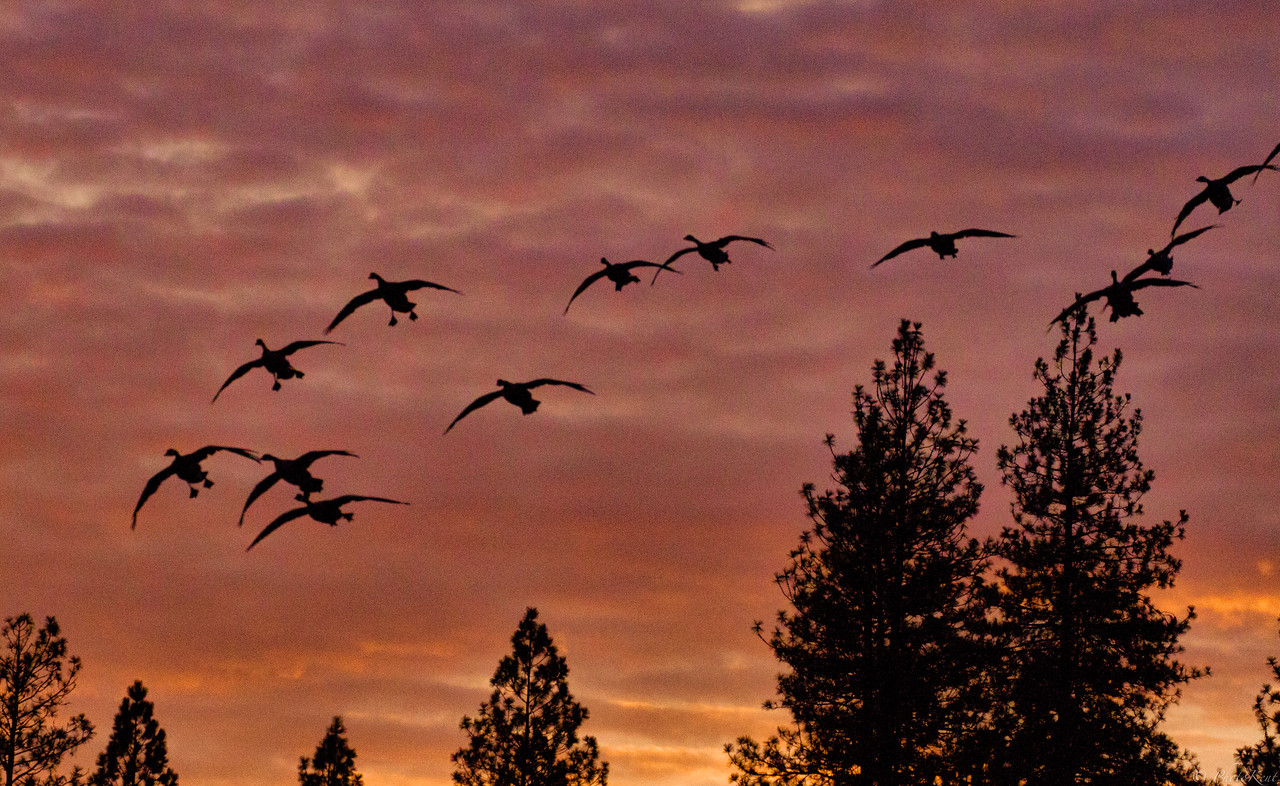 Morning Geese arrival