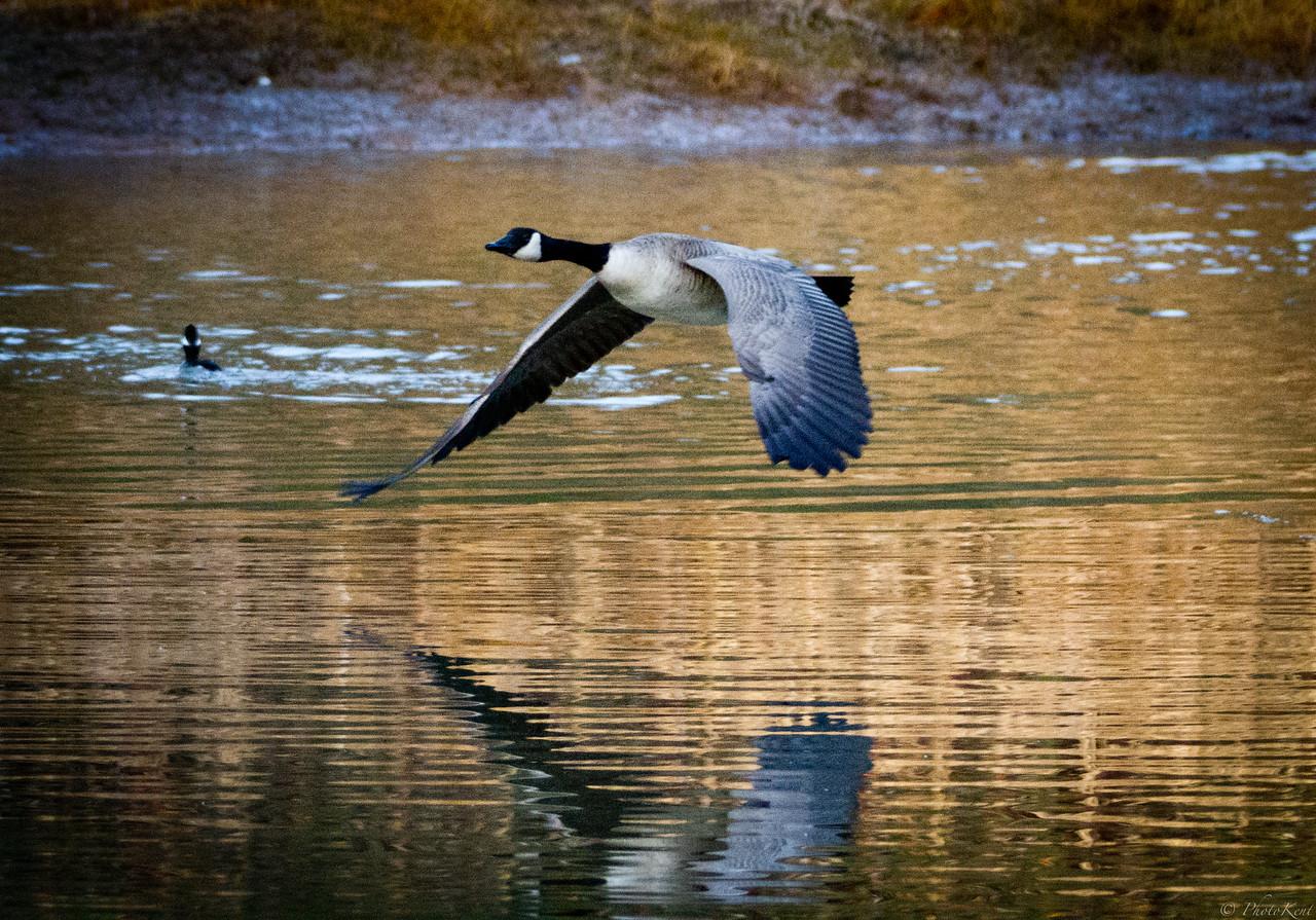 Canada Goose takeoff in morning