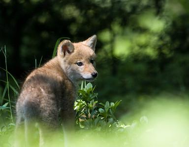Coyote Pup, Mount Auburn Cemetery