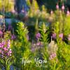 13  G Fireweed