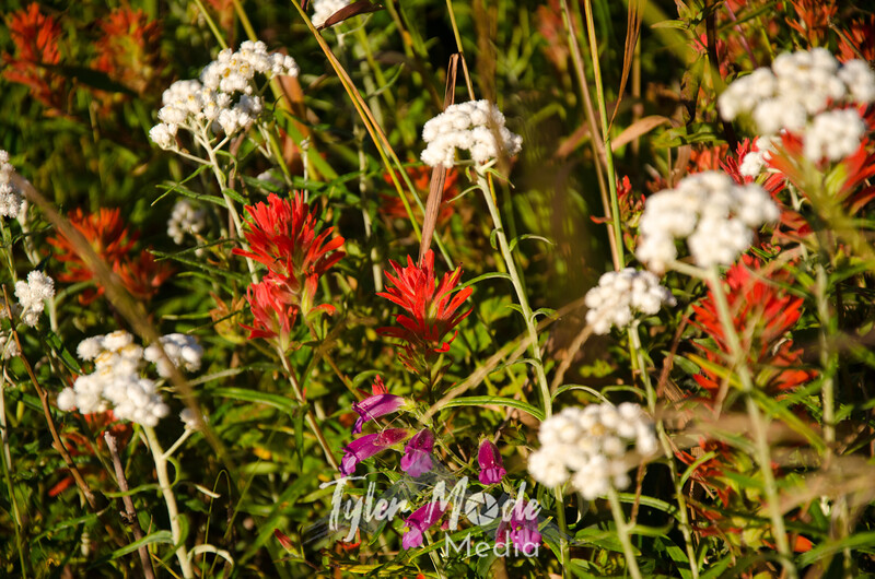37  G Indian Paintbrush, Pearly Everlasting and Another