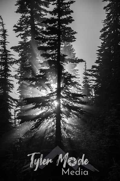 98  G Tree and Mist Sharp BW V