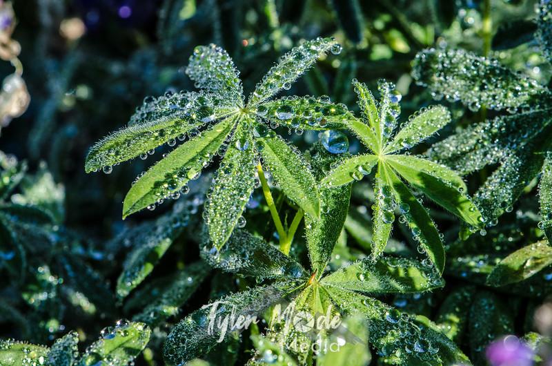 379  G Wet Lupine Leaves