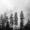 11  G Trees and Mist BW