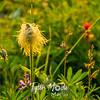 68  G Pasque Flower