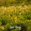 74  G Pasque Flowers