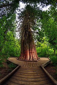 Mount Rainier National Park - Grove of the Patriarchs