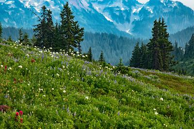 Blooming Wildflowers at Mount Rainier