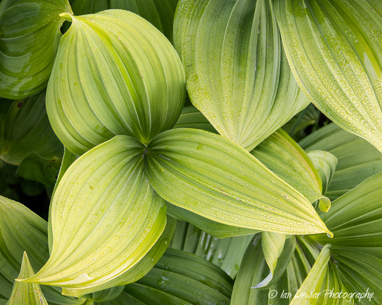 False Hellbore  Veratrum viride