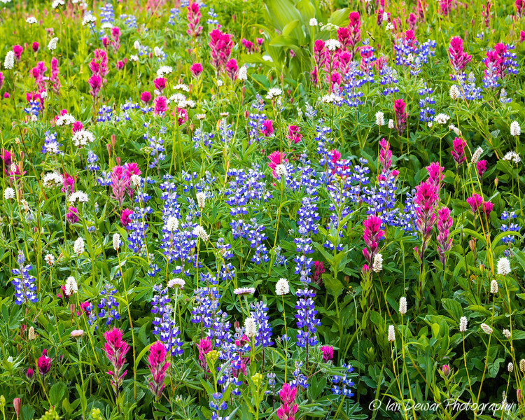 Meadow of Mount Rainier wildflowers