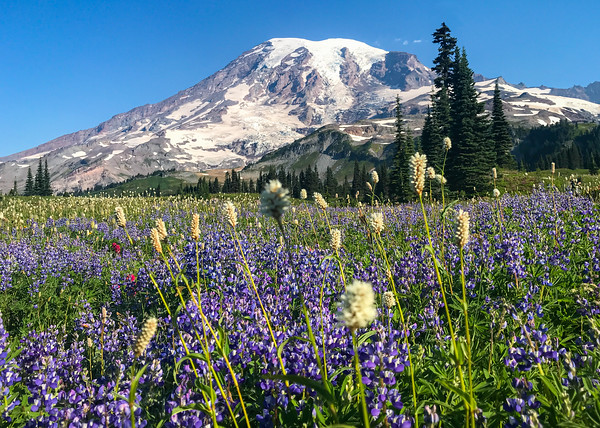 Mount Rainier summer meadow of wildflowers