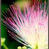 Albizia juhibrissin<br /> Pink Silk Tree
