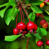 Red Berries-
