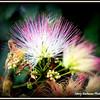 Summer Pink Silk Tree