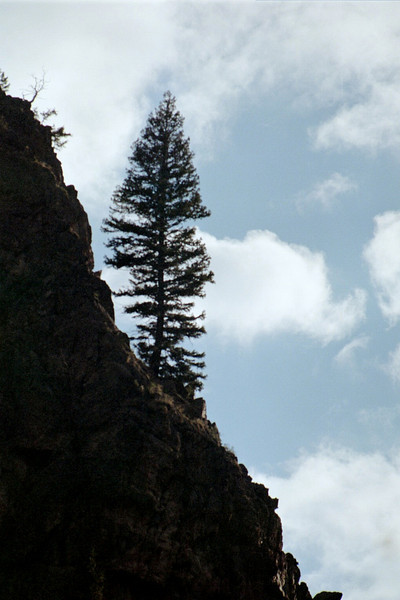 Solitary Spruce