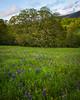 Sonoma wildflowers