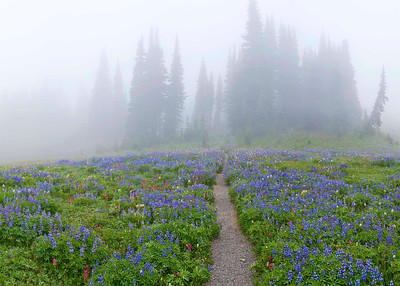 """""""Mazama Mist"""" Mt. Rainier is so high (14,412') that it creates its own weather...here, a sunny summer day has been suddenly transformed into a mysterious landscape. At their peak in late August, blue Lupine, magenta Paintbrush and the fuzzy seed heads of Pasque flower carpet Mazama Ridge on Rainier's southeast slope."""