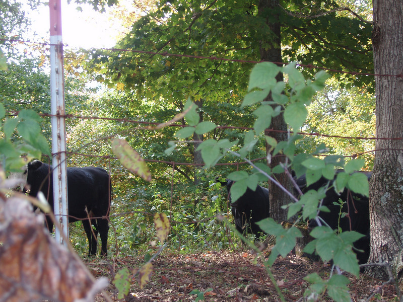 cattle in the autumn