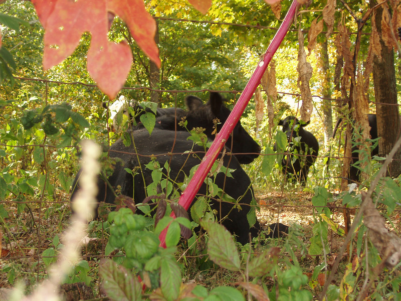 cows relaxing in the shade