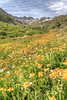 American Basin Wildflowers 1a