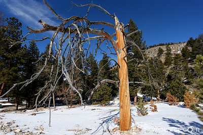 The old tree.  Alluvial Falls area.  RMNP Winter.