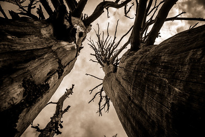 Dead trees in Sisters Wilderness