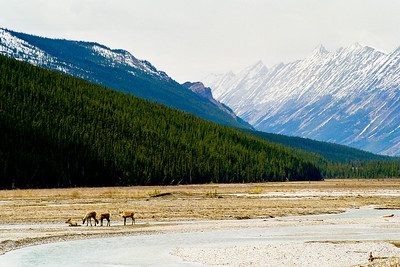 "Young caribou In Canadian Rockies  *For information on purchasing prints and canvas gallery wraps, click the ""Purchasing"" tab at the top of the page. If viewing on your mobile device, scroll to the bottom of the page and click the ""Full Site"" tab to view as if you were on your home PC and then go to the ""Purchase"" tab to for purchasing info. In mobile mode, you will not see the standard navigation bar with the ""Purchase"" tab."