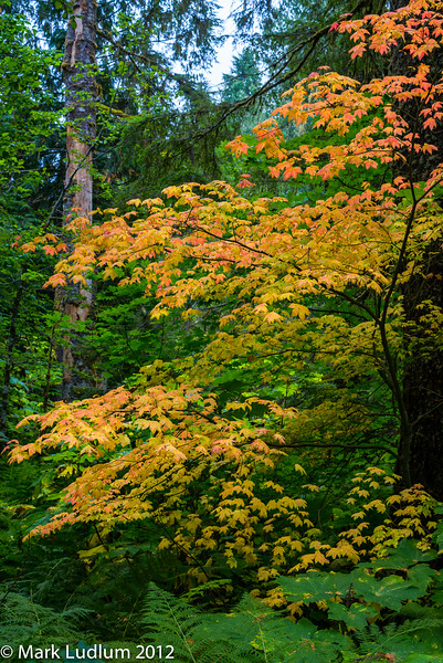 Vine Maple Mt Baker Forest 10-2012