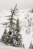 Mt Baker Winter Conifers 12-2016