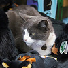 Cat sits among the stuffed animals for sale at the Mt Lemmon gift shop.