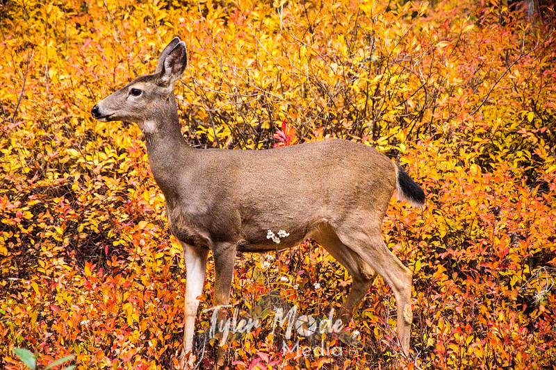 1  G Deer and Fall Color