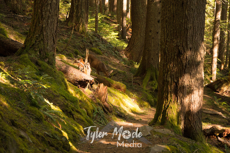 93  G Deer Near Trail