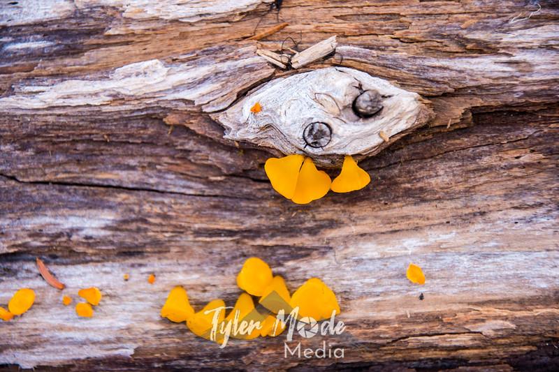 59  G Yellow Mushrooms Close