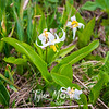 76  G Avalanche Lily