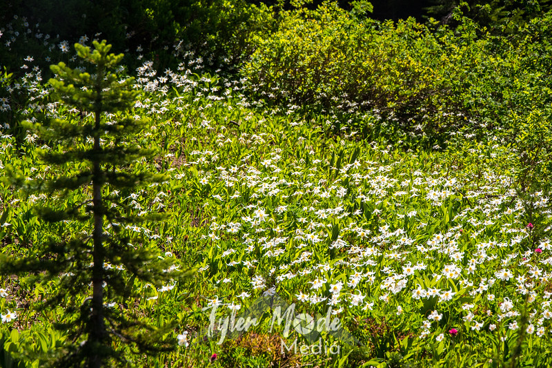11  G Avalanche Lilies and Tree