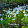 529  G Avalanche Lilies