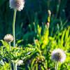 115  G Pasque Flower V