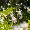 2614  G Avalance Lilies