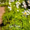 2612  G Avalance Lilies Trail