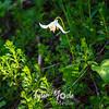 2234  G Avalance Lily