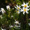 2616  G Avalance Lilies