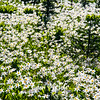 128  G Avalanche Lillies