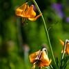 187  G Tiger Lily V